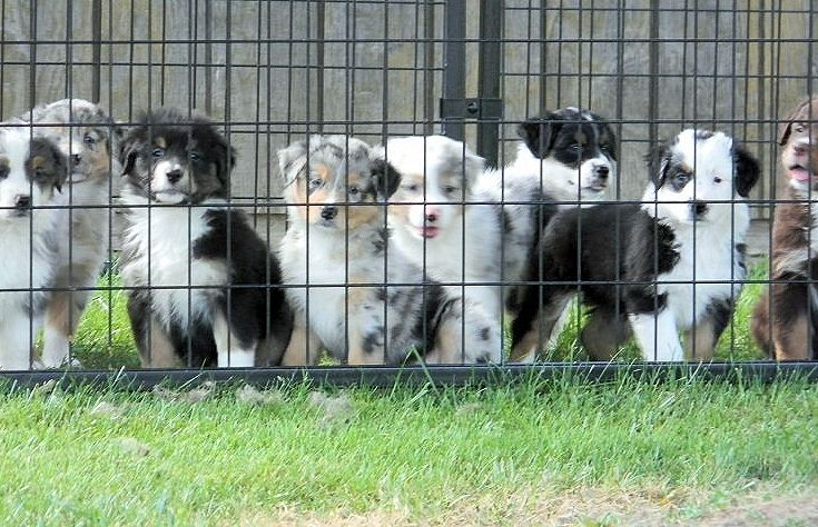australian shepherd kennels Maryland